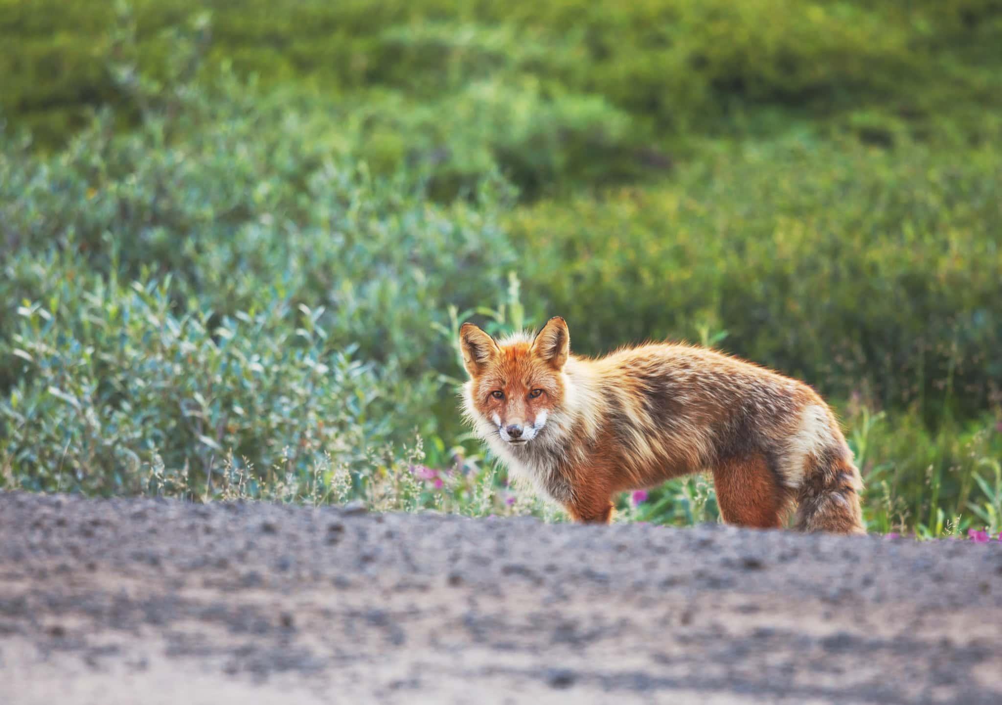 Débat coyote