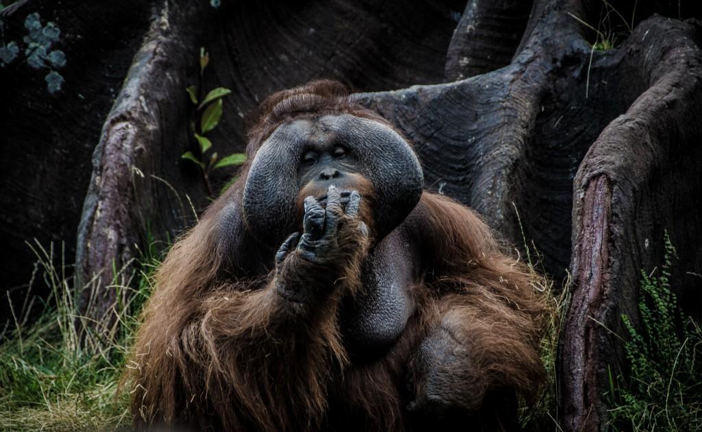 orangutan sumatra voyage